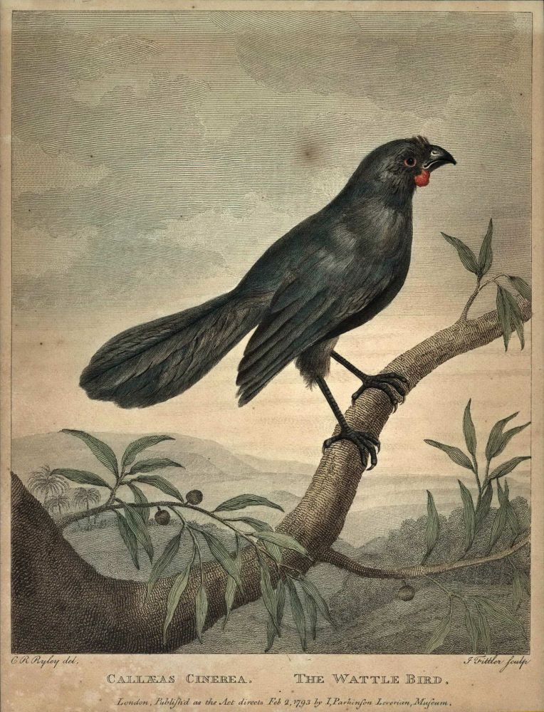 Callaeas Cinerea. The Wattle Bird. C R. Ryley, British.