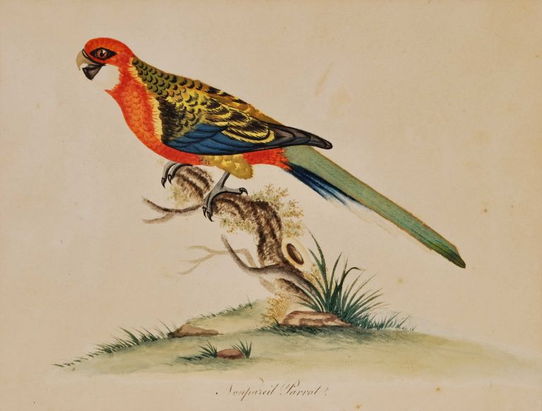 Nonpareil Parrot. After William Hayes, British.