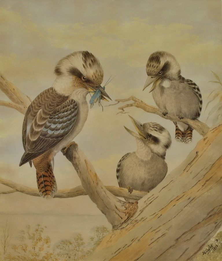 Kookaburra Feeding Grasshopper To Young. Tom Flower After Neville H. P. Cayley, Aust.