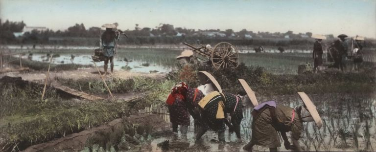 [Japanese Workers In Rice Paddy]