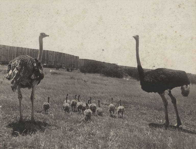 The Ostrich Farm, South Head, Sydney