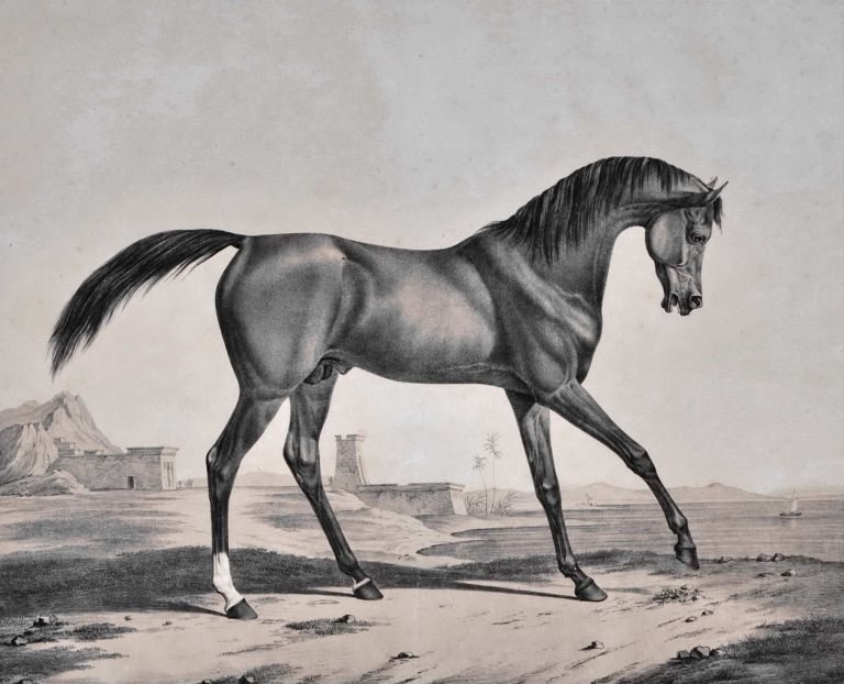 """Tayar"" [Arabian Stallion]. After Rudolf Kuntz, German."