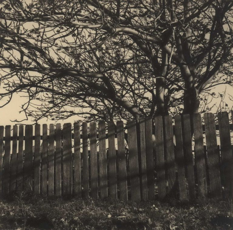 [Fence And Tree]. Olive Cotton, Aust.