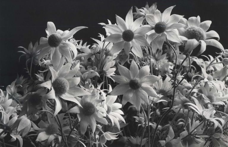 [Flannel Flowers]. Paul Jones, 1921- 1997 Aust.