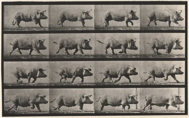 Animal Locomotion, Plate 675 [Running Pig]. Eadweard Muybridge, 1830- 1904 Brit.