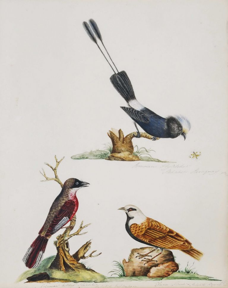 [Bird Studies].  After  John Latham, Brit.