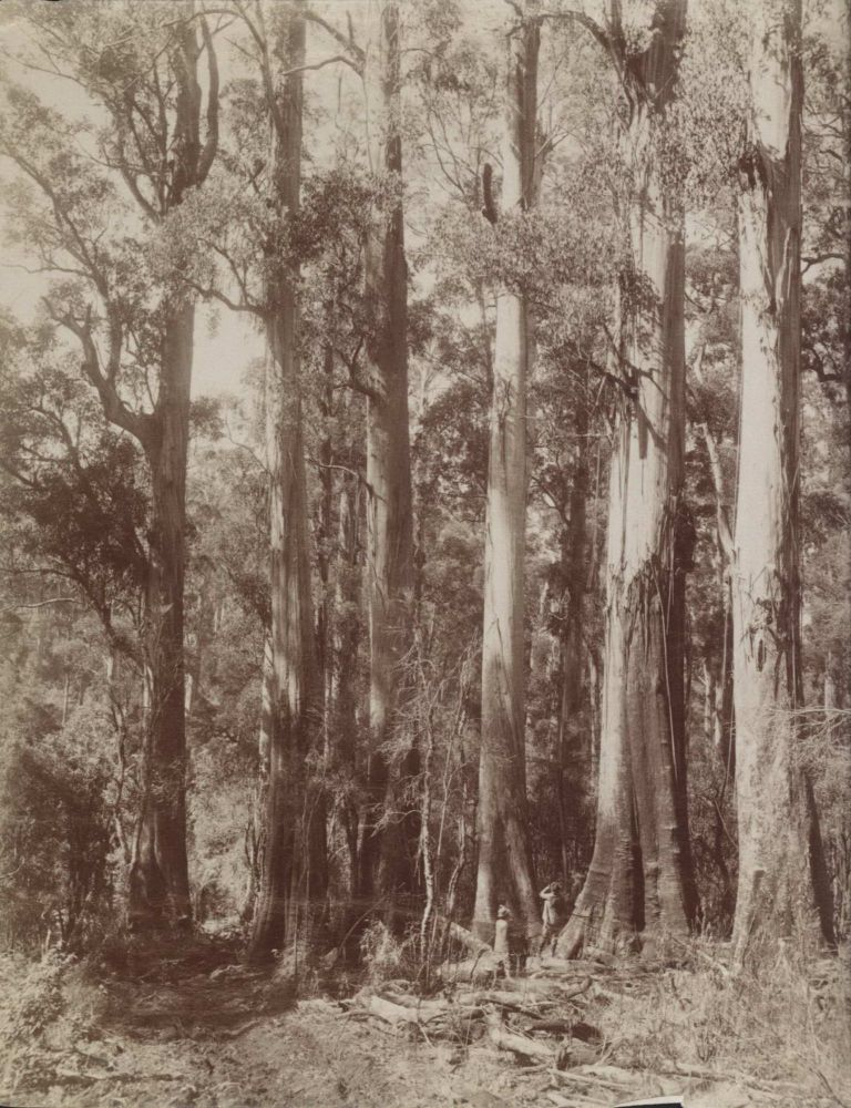 Group Of Giant Gums At Top Of Dividing Range, Near The Hermitage. Attrib. Nicholas Caire, Australian.