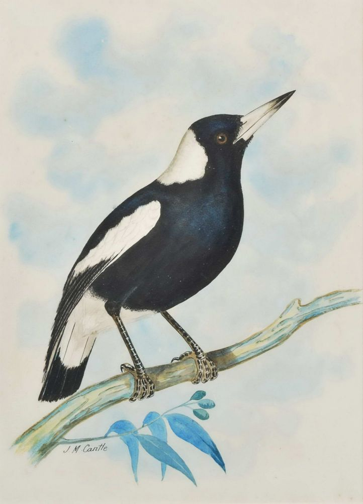 [Australian Magpie and Laughing Kookaburra]. J M. Cantle, 1849–1919 Australian.