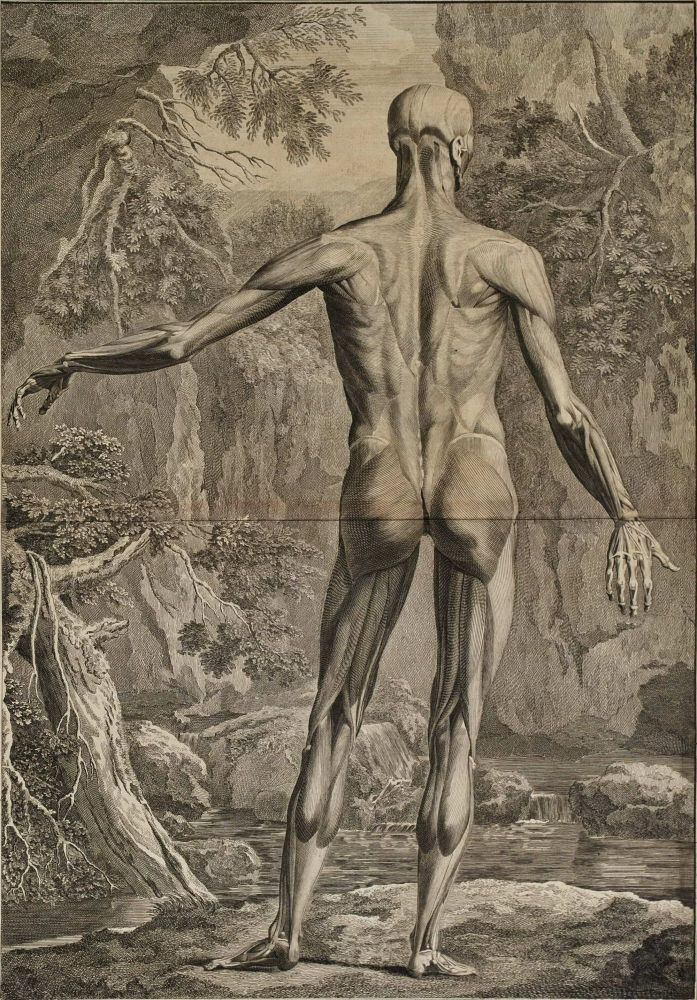 [Anatomical Studies: Posterior Plane]. After Jan Wandelaar, 1690–1759 Dutch.