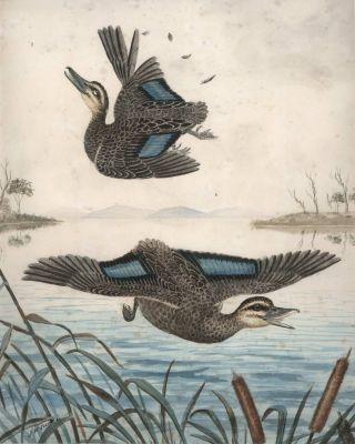 Two Ducks In Flight, One Shot]. J M. Cantle, Australian
