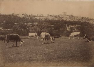 [Domestic Animals, Sydney Harbour Area]. fl. c. Aust., s.