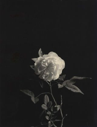Rose]. Paul Jones, Aust