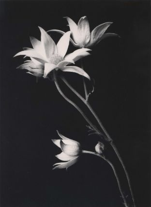 Flannel Flowers]. Paul Jones, Aust