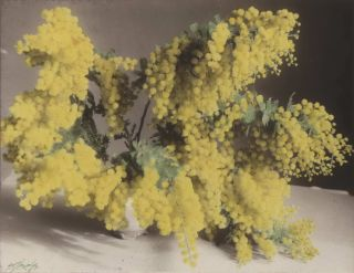 Wattle Blossom and Gum Blossom