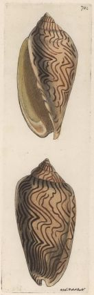 [Australian Sea Shells]. R P. Nodder, British.