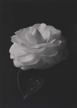 White Camellia]. Paul Jones, Australian