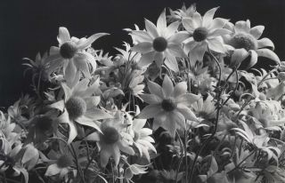 Flannel Flowers]. Paul Jones, 1921- 1997 Aust