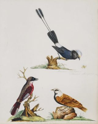 Bird Studies].  After  John Latham, Brit