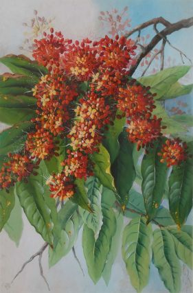 Ixora Flower, West Indian Jasmine]. Ellis Rowan, Aust