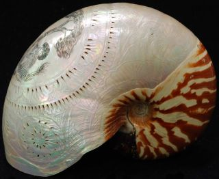 Australiana Mother Of Pearl Shells