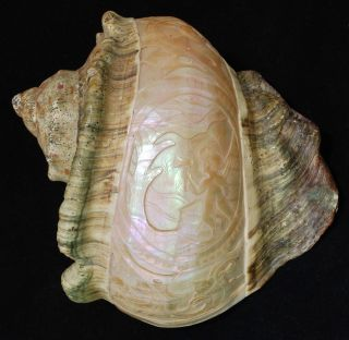Pacific Mother Of Pearl Shells