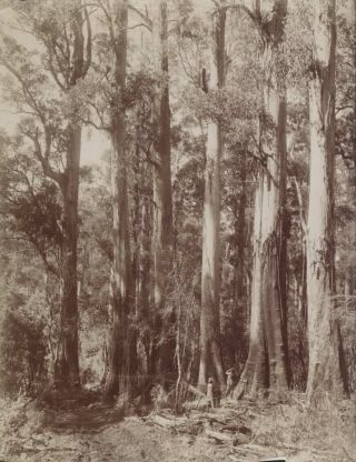 Group Of Giant Gums At Top Of Dividing Range, Near The Hermitage. Attrib. Nicholas Caire,...