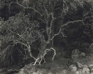Sierra Foothill Forest. Ansel Adams, American.