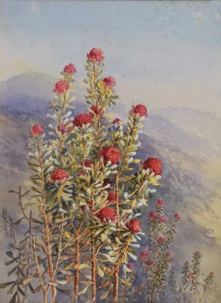 Waratahs, Blue Mountains]. Ellis Rowan, Aust