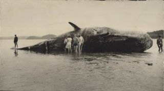 [Beached Sperm Whale, NZ]
