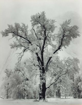 Oaktree, Snowstorm, Yosemite National Park, California. Ansel Adams, 1902–1984 American