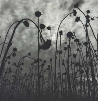 Dead Sunflowers. Olive Cotton, 1911–2003 Australian